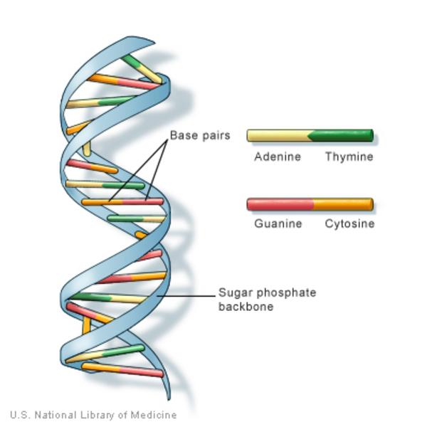 El ADN está formado por pares de bases y una columna vertebral de fosfato de azúcar.