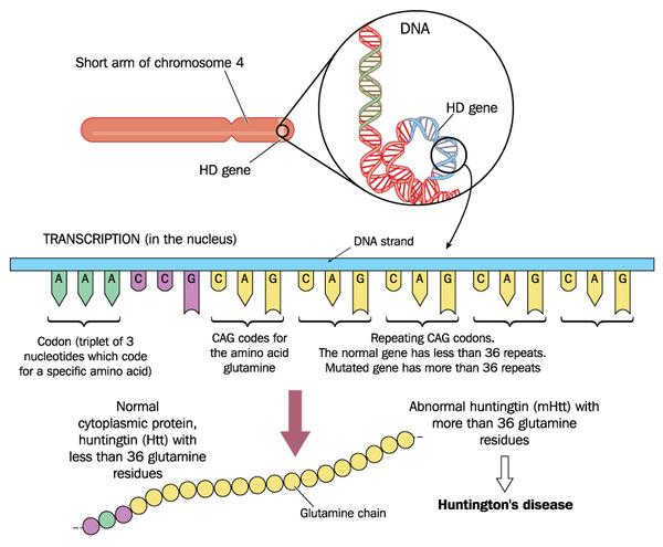 huntington disease medlineplus genetics