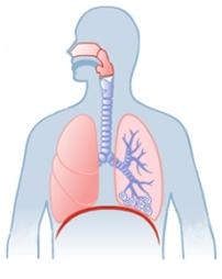Ilustración de anatomía