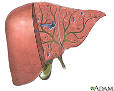 Illustration of the biliary organs and duct system