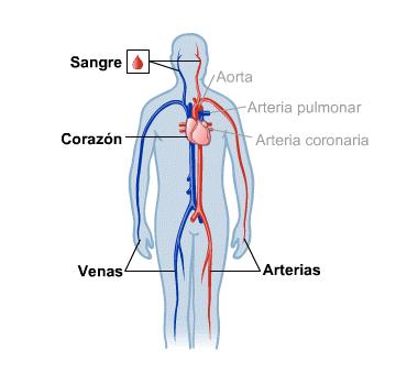 Body Map for Sangre, corazón y circulación (Spanish)