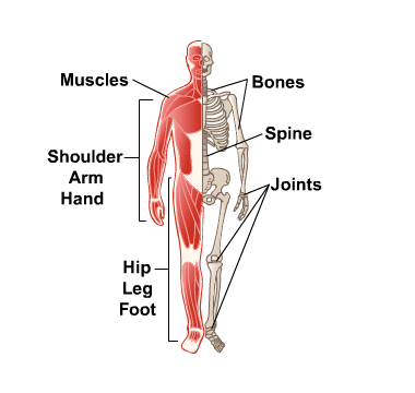 Bones, Joints and Muscles: MedlinePlus