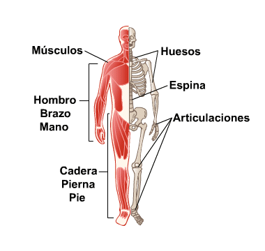 Body Map for Bones, Joints and Muscles (Spanish)
