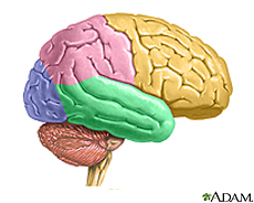 Illustration of the brain