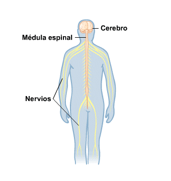 Body Map for Brain and Nerves (Spanish)