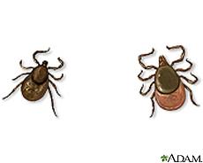 Ilustración de garrapatas del venado, macho (al izquierda) y hembra (a la derecha)