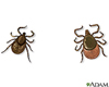 Illustration of male and female deer ticks
