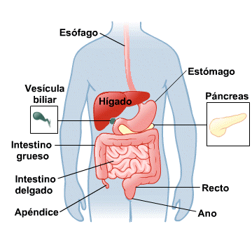 Body Map for Digestive System (Spanish)