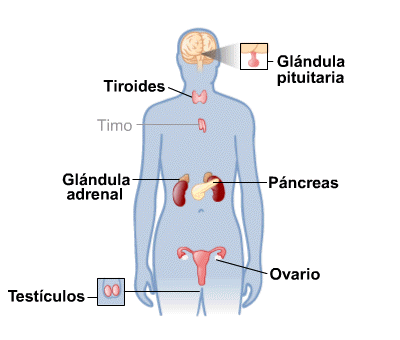 Body Map for Endocrine System (Spanish)