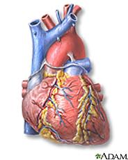 Ilustración del corazón, vista frontal