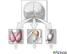 Ilustración de producción hormonal de las glándulas endocrinas
