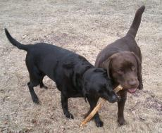 Photograph of two labrador retrievers playing with a stick