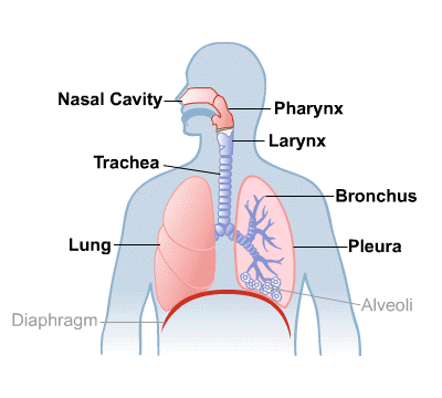 Lungs and breathing medlineplus body map for lungs and breathing ccuart Choice Image