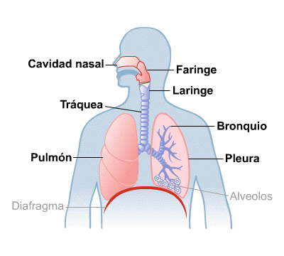 Body Map for Lungs and Breathing (Spanish)