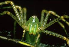 Fotografía de un araña lince