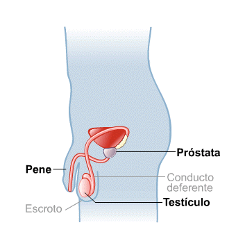 Body Map for Male Reproductive System (Spanish)