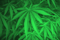 Photograph of marijuana plants