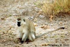 Fotografía de un mono Vervet