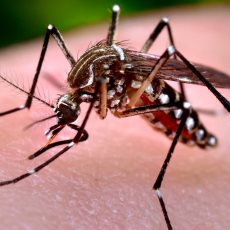 A photo of a mosquito on human skin