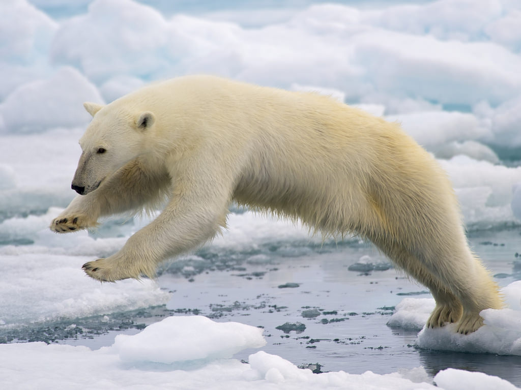 A polar bear attempting to navigate from one clump of sea ice to another ice-covered area by reaching across the water