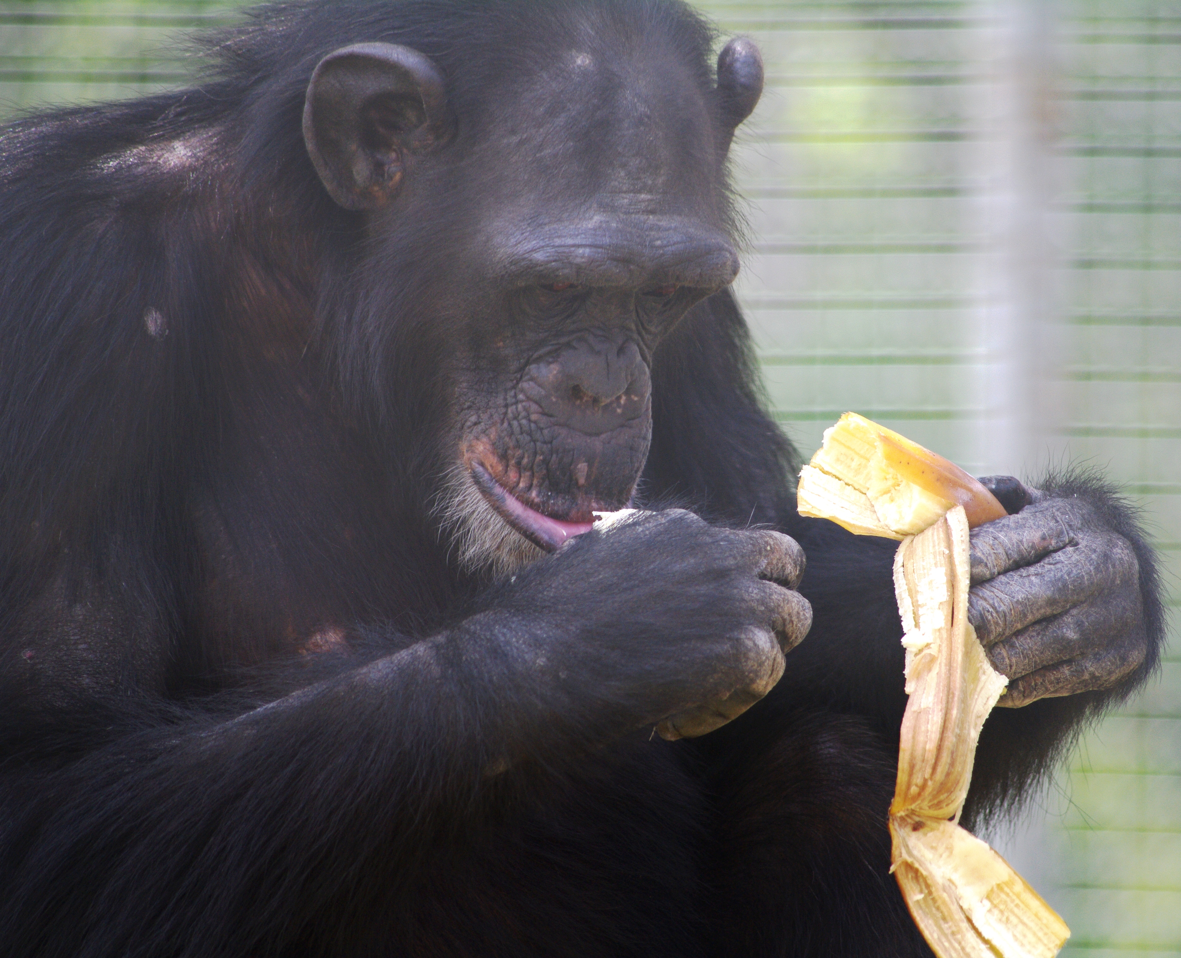 A chimp holding an empty banana peel in his left hand, with the banana in his right hand positioned close to his mouth