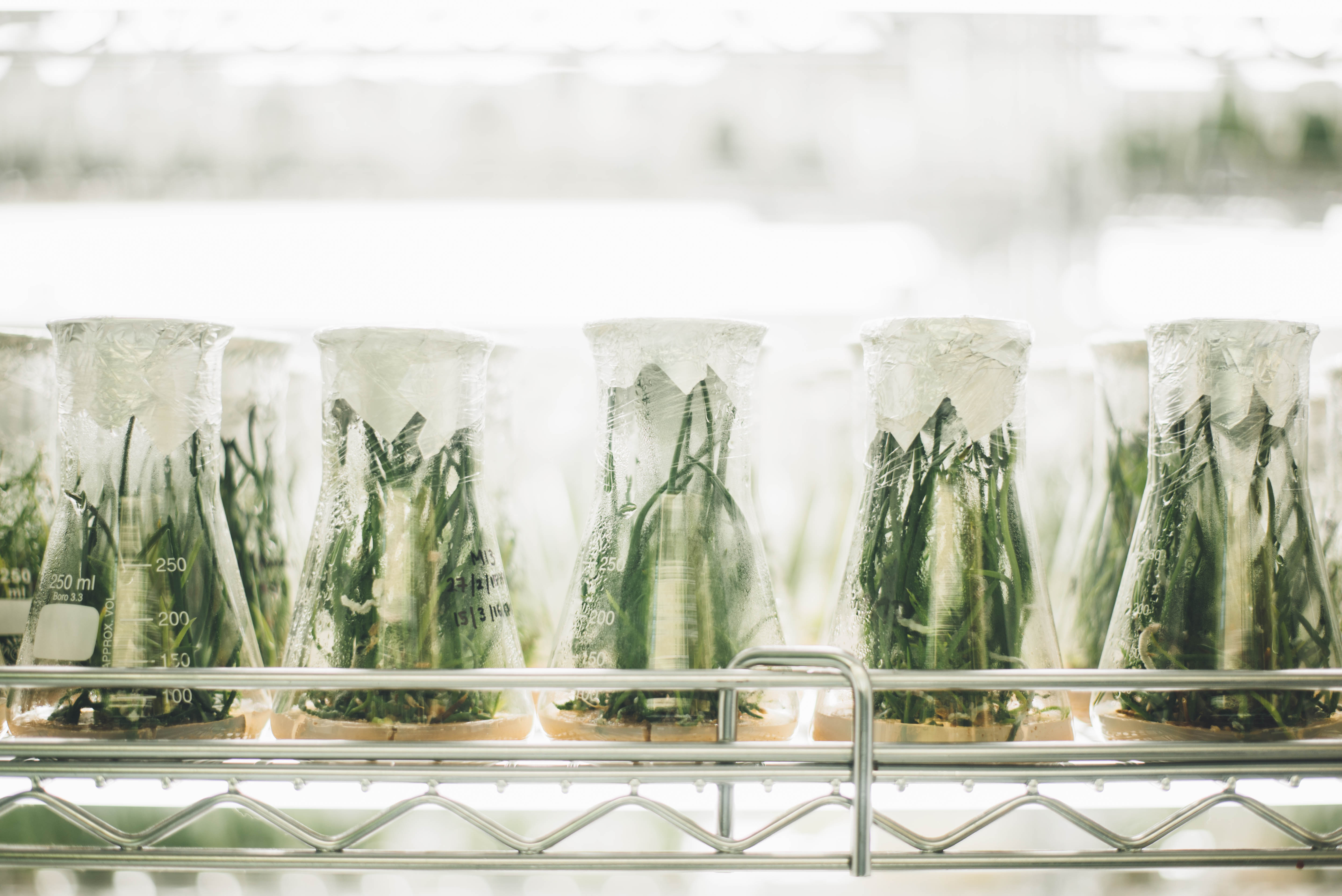 A large number of covered beakers are lined up in an orderly fashion, each filled with green vegetation growth