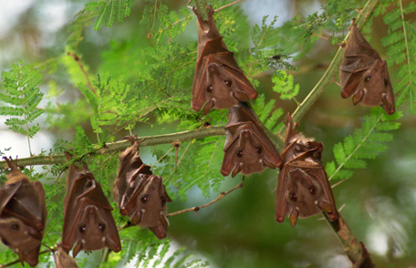 Seven fruit bats hanging upside down on a tree branch