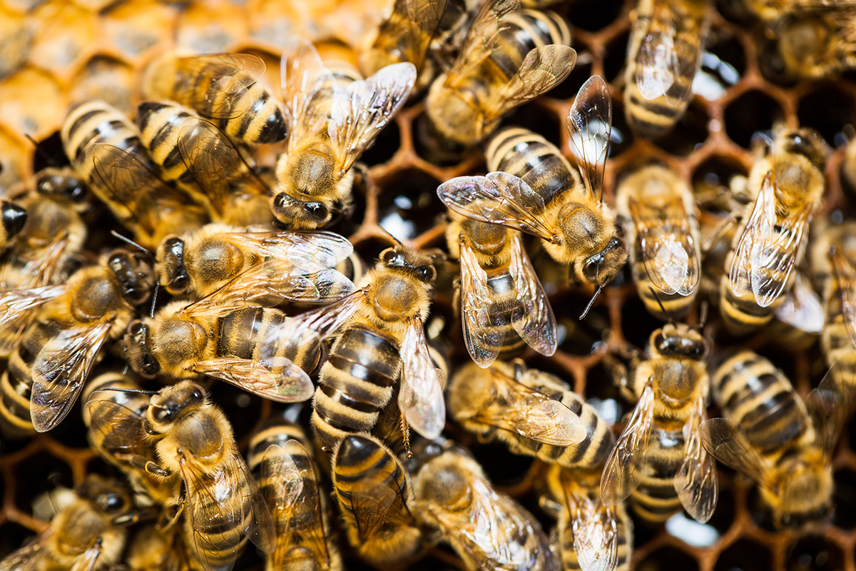 Honey bees swarming on a hive