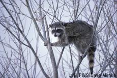Fotografía de un mapache en un árbol