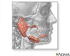 Illustration of the salivary glands
