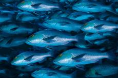 Photograph of a school of fish