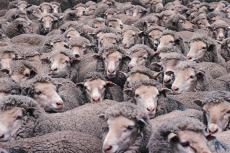 Fotografía de un rebaño de ovejas