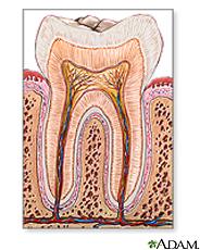 Ilustración de la anatomía del diente