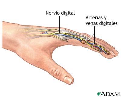 Reimplantación de los dedos - Serie—Anatomía normal: MedlinePlus ...