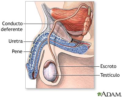 Vasectomía - Serie—Anatomía normal: MedlinePlus enciclopedia médica