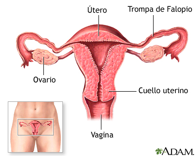 Píldoras anticonceptivas - Serie—Anatomía normal: MedlinePlus ...