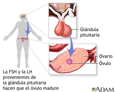 FSH y LH de la glándula pituitaria