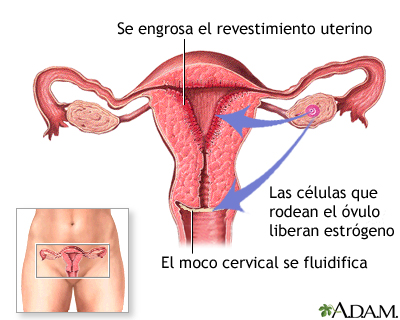 Liberación de estrógeno