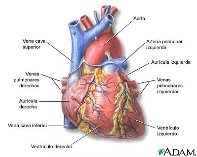 Vista Anterior Del Corazón Medlineplus Enciclopedia Médica Illustración