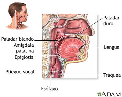 Anatomía de la garganta: MedlinePlus enciclopedia médica illustración