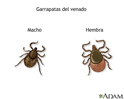 pulgas