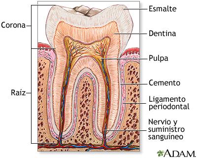 Anatomía del diente: MedlinePlus enciclopedia médica illustración