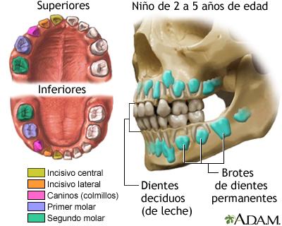 Desarrollo de los dientes de leche