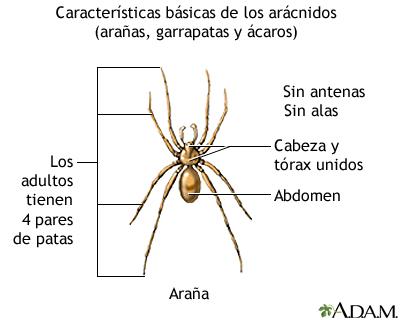 Anatomía de la araña - arana