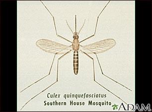 Mosquito adulto