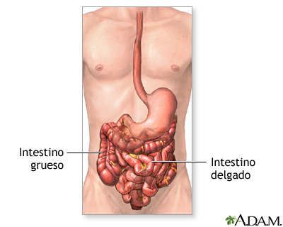 Obstrucción intestinal - Serie—Anatomía normal: MedlinePlus ...