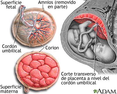 Anatomía de la placenta normal