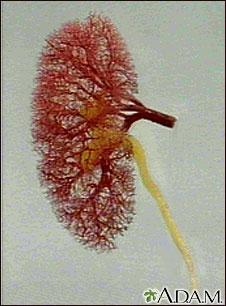Flujo de sangre y orina en el riñón