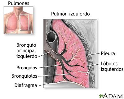 Anatomía de los pulmones: MedlinePlus enciclopedia médica illustración