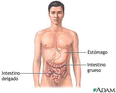 Anatomía gastrointestinal